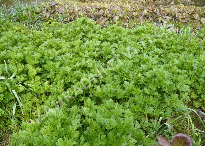 Oměj Carmichaelův 'Arendsii' - Aconitum carmichaelii 'Arendsii'