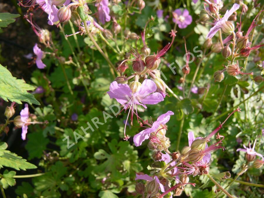 Kakost 'Cambridge' - Geranium x cantabrigiense 'Cambridge'