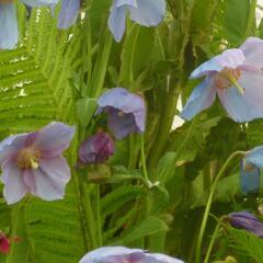 Mákovec - Meconopsis betonicifolia