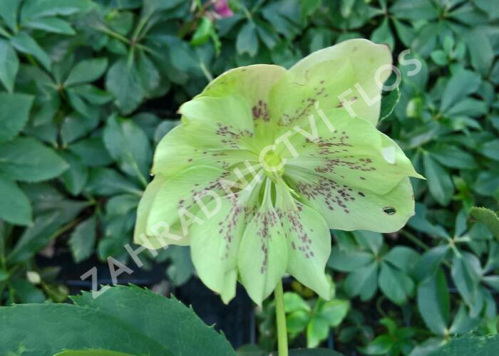 Čemeřice východní 'Double Green Spotted' - Helleborus orientalis 'Double Green Spotted'