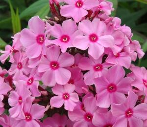 Plamenka latnatá 'Sweet Summer Rose' - Phlox paniculata 'Sweet Summer Rose'
