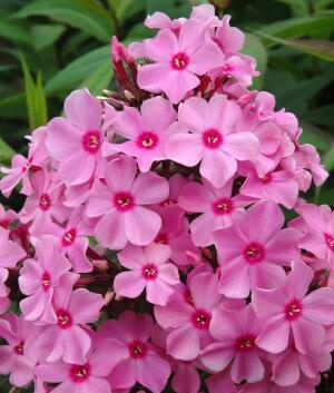 Plamenka latnatá 'Sweet Summer Rose' - Phlox paniculata 'Sweet Summer Rose'