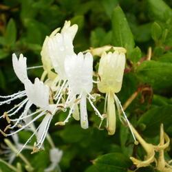 Zimolez japonský 'Halliana' - Lonicera japonica 'Halliana'