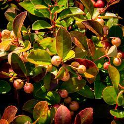 Libavka polehlá - Gaultheria procumbens 'Winter Pearls Speedy Baron'