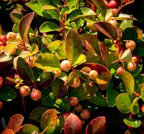 Libavka polehlá 'Winter Pearls Speedy Baron' - Gaultheria procumbens 'Winter Pearls Speedy Baron'