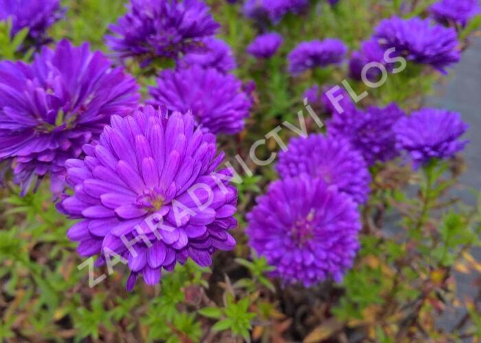 Hvězdnice novobelgická 'Henry Purple' - Aster novi-belgii 'Henry Purple'