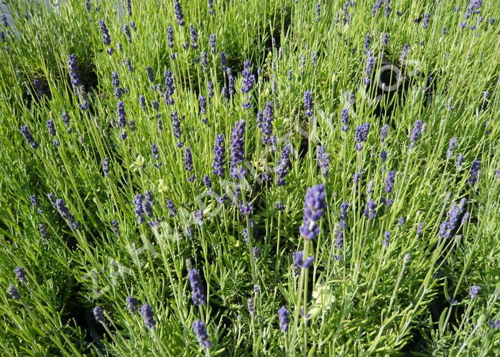 Levandule úzkolistá 'Hidcote Blue' - Lavandula angustifolia 'Hidcote Blue'