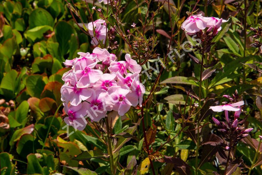 Plamenka latnatá 'Sweet Summer Soft Pink' - Phlox paniculata 'Sweet Summer Soft Pink'