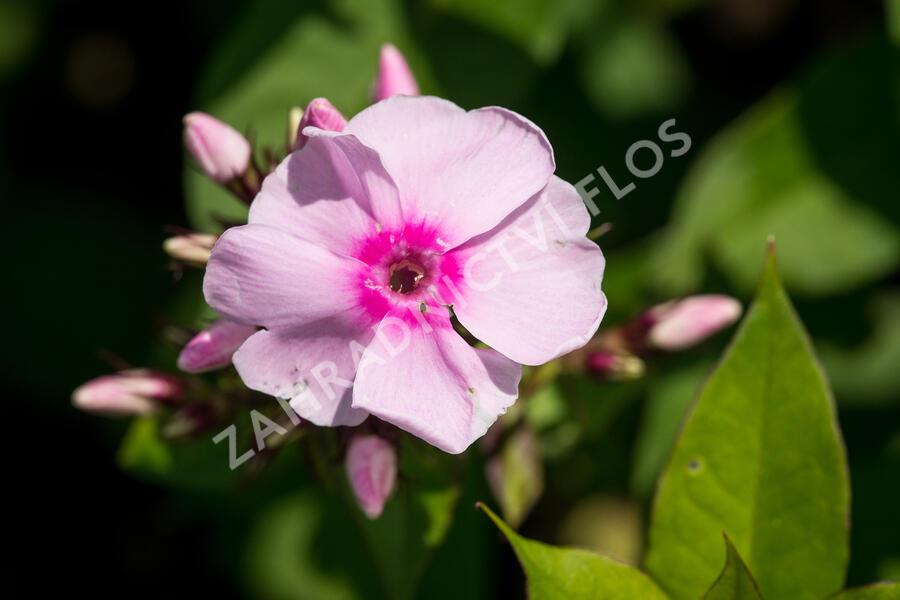 Plamenka latnatá 'SweetSummer Soft Pink' - Phlox paniculata 'Sweet Summer Soft Pink'