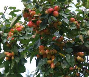 Okrasná jabloň 'John Downie' - Malus 'John Downie'