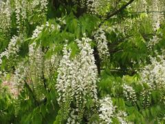 Vistárie čínská 'Alba' - Wisteria sinensis 'Alba'