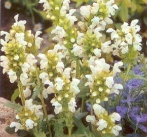 Černohlávek velkokvětý 'Alba' - Prunella grandiflora 'Alba'