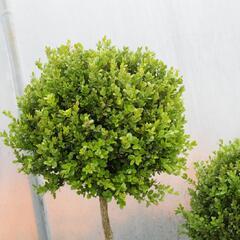 Zimostráz obecný 'Faulkner' - 1 koule na kmínku - Buxus microphylla 'Faulkner' - 1 koule na kmínku