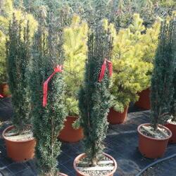 Tis červený 'Fastigiata Robusta' - Taxus baccata 'Fastigiata Robusta'