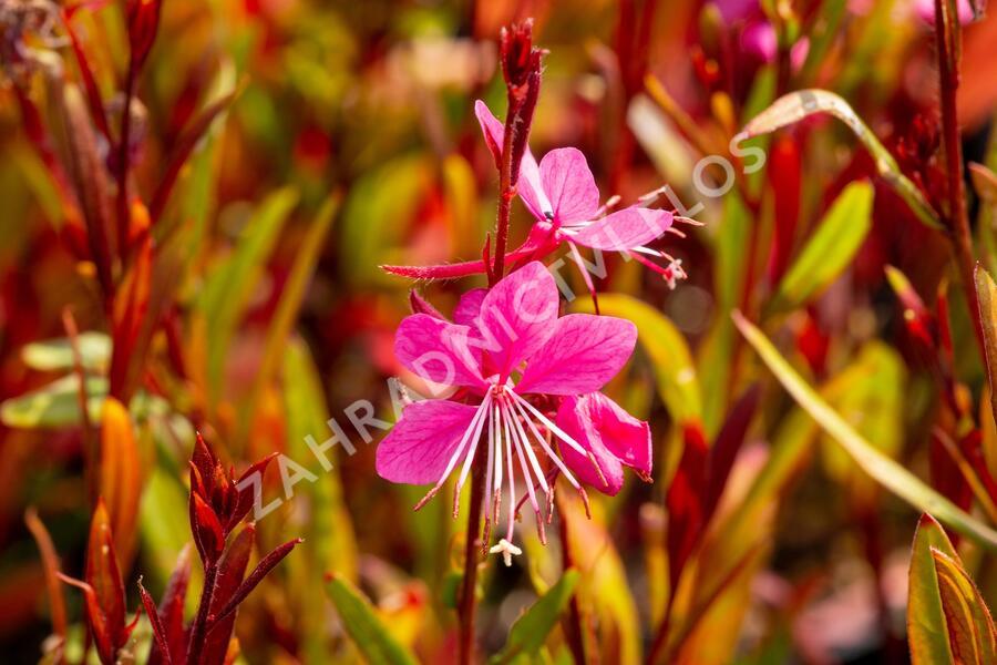 Svíčkovec 'Siskyou Pink' - Gaura lindheimeri 'Siskyou Pink'