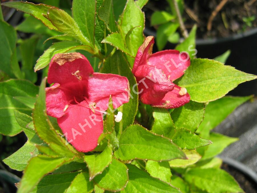 Vajgélie 'Red Prince' - Weigela 'Red Prince'