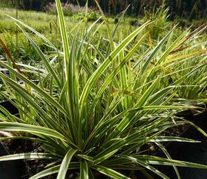 Ostřice japonská 'Variegata' - Carex morrowii 'Variegata'
