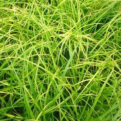 Ostřice japonská - Carex morrowii