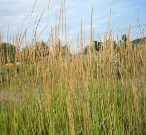 Třtina ostrokvětá 'Overdam' - Calamagrostis acutiflora 'Overdam'