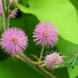 Citlivka stydlivá 'Sensitive' - Mimosa pudica 'Sensitive'