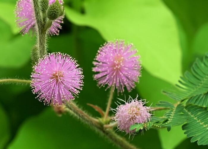 Citlivka stydlivá 'Sensitive' - Mimosa pudica 'Sensitive'