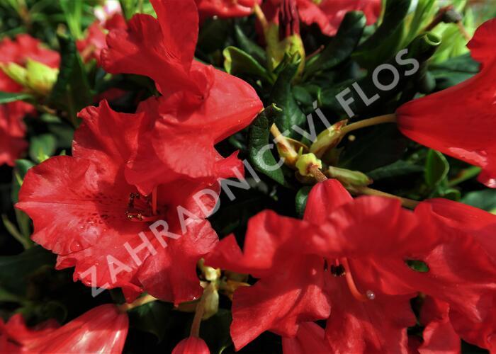 Pěnišník 'Baden-Baden' - Rhododendron (R) 'Baden-Baden'