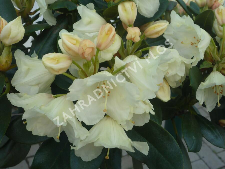 Pěnišník 'Flava' - Rhododendron (Y) 'Flava'