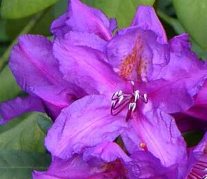 Pěnišník 'Lee's Dark Purple' - Rhododendron (T) 'Lee's Dark Purple'