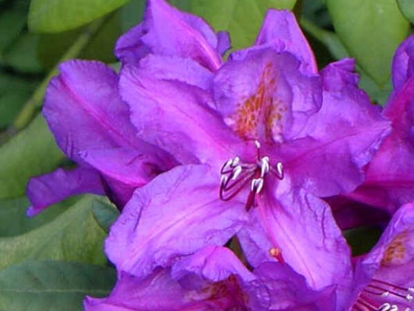 Pěnišník 'Lee's Dark Purple' - Rhododendron (T) 'Lee's Dark Purple'