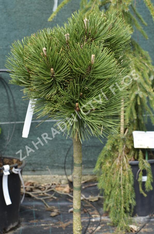 Borovice bělokorá 'Malinki' - Pinus heldreichii 'Malinki'