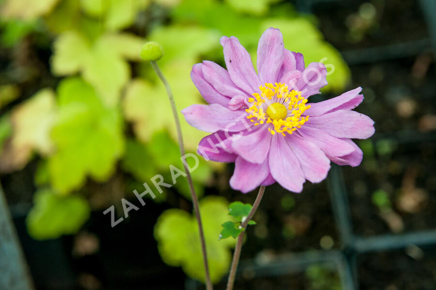 Sasanka 'September Charm' - Anemone hupehensis 'September Charm'