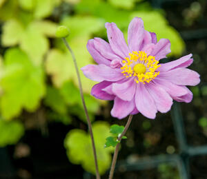 Sasanka 'September Charm' - Anemone hupehensis 'September Charm'