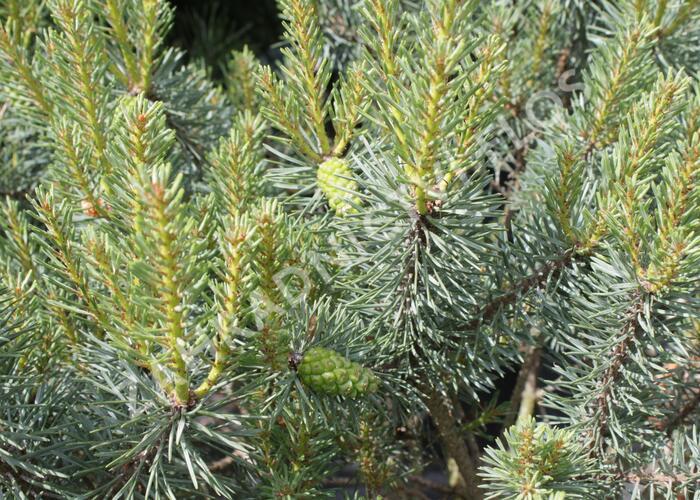 Borovice lesní 'Beuvronensis' - Pinus sylvestris 'Beuvronensis'