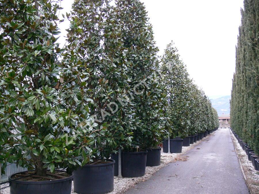 Šácholan velkokvětý 'Gallissoniensis' - Magnolia grandiflora 'Gallissoniensis'