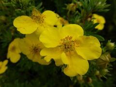 Mochna křovitá 'Goldfinger' - Potentilla fruticosa 'Goldfinger'