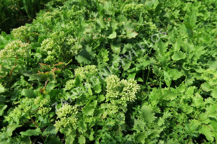 Rozchodník - Sedum populifolium