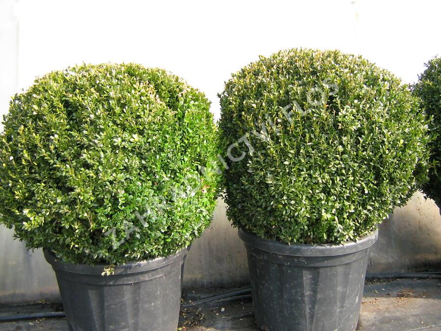 Zimostráz obecný - koule - Buxus sempervirens - koule