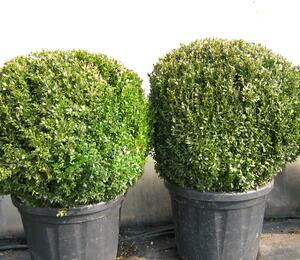 Zimostráz obecný - Buxus sempervirens - koule