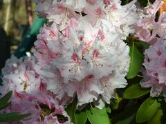 Pěnišník - Rhododendron hybridum