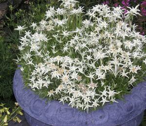 Protěž alpská 'Everest' - Leontopodium alpinum 'Everest'