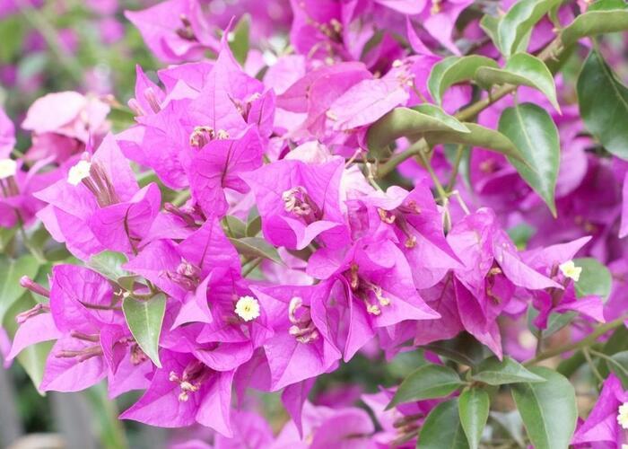 Bugenvilea lysá - Bougainvillea glabra