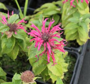 Zavinutka podvojná 'Croftway Pink' - Monarda didyma 'Croftway Pink'