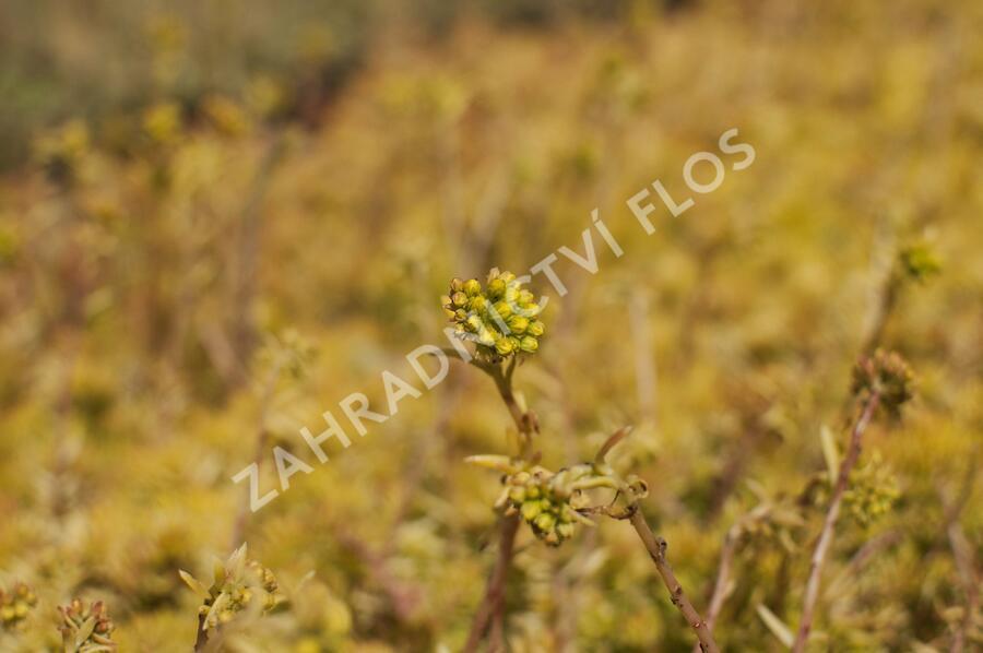 Rozchodník 'Winter Lemon' - Sedum hybridum 'Winter Lemon'