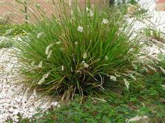 Pěchava podzimní - Sesleria autumnalis