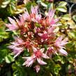 Rozchodník pochybný 'Tricolor' - Sedum spurium 'Tricolor'