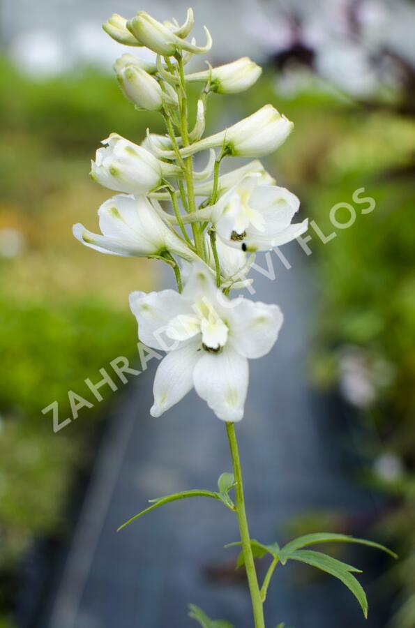 Ostrožka 'Galahad' - Delphinium Pacific 'Galahad'