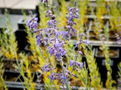 Perovskie lebedolistá 'Lacey Blue' - Perovskia atriplicifolia 'Lacey Blue'