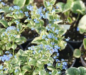 Pomněnkovec velkolistý 'Variegata' - Brunnera macrophylla 'Variegata'