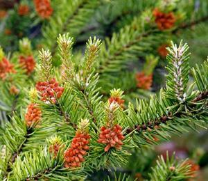 Borovice Banksova 'Arktis' - Pinus banksiana 'Arktis'
