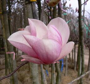Šácholan Soulangeanův - Magnolia soulangeana